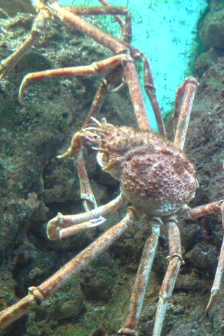 Crab at the Shedd Aquarium