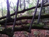 Persistence - fallen tree