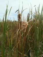 Cattails at Cherokee Marsh