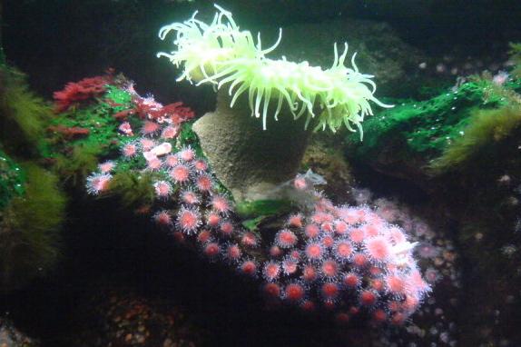 Anemone at the Shedd Aquarium