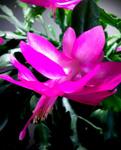 xmas_cactus_flower_WP