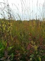 Grasses at Cherokee Marsh